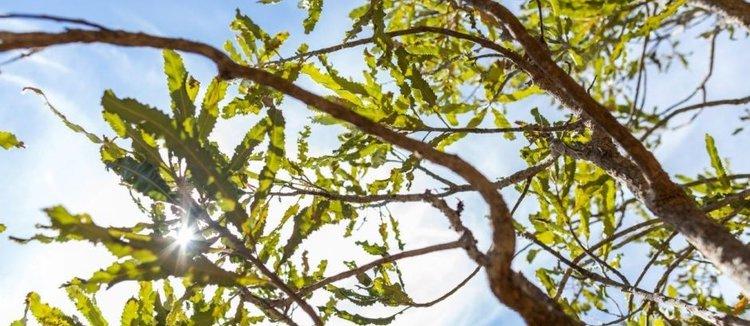 Banksia Tree leaves